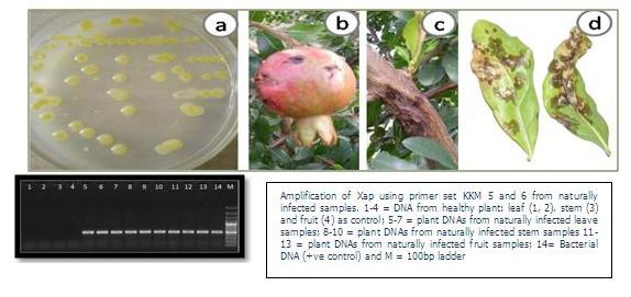 PCR BASED DETECTION OF POMEGRANATE BACTERIAL BLIGHT