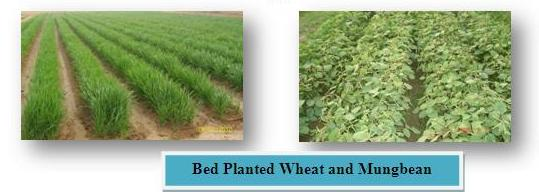 ed-planted crop of wheat produced