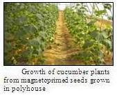Growth of cucumber plants from magnetoprimed seeds grown in polyhouse