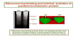 Antiviral proteins (AVPs)