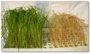 Incorporation of herbicide tolerance trait into Basmati and Non-Basmati rice varieties