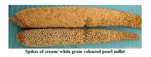 Pearl millet genotypes with Cream/white coloured grain