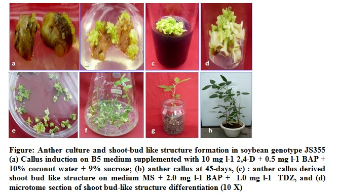 Anther culture of Glycine max (Merr.): Effect of media on callus induction and organogenesis