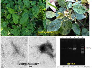 Screening and identification of resistance sources against Cowpea mild mottle virus disease in soybean